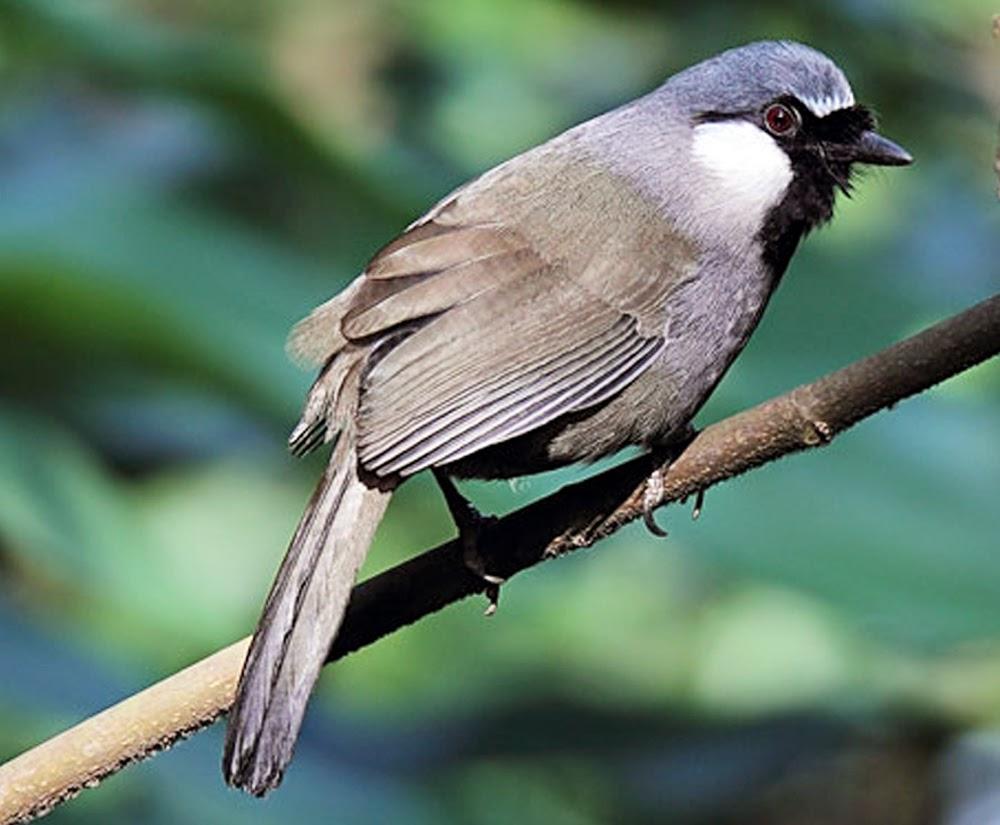 Gambar Burung Poksay Daftar Harga Burung Tahun 2015 Terbaru