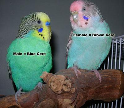 didapatkan di kios kios penjual makanan burung perbedaa