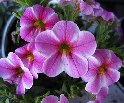 Callibrachoa 'Cali Pink Star'