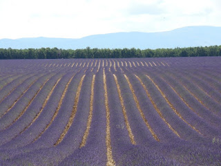 Lavender fields on the Plateau de Valensole
