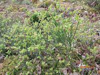 Plant de myrtillier avec ses fleurs et jeunes feuilles