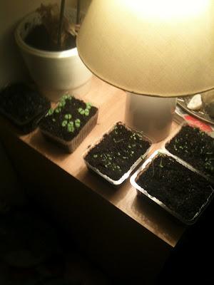herb seedlings