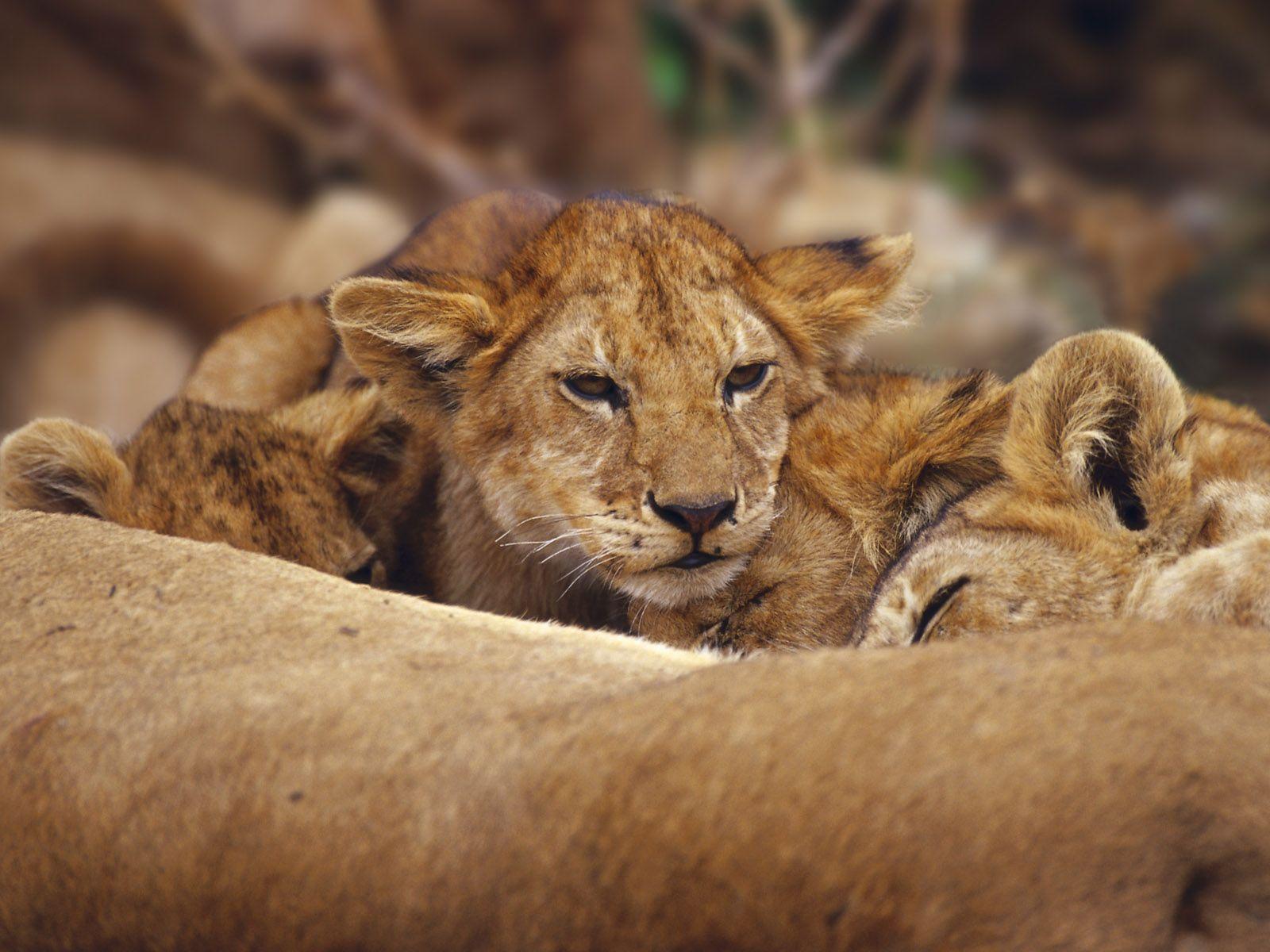 Lion Wallpapers | 3D Wallpaper | Nature Wallpaper | Free Download ...