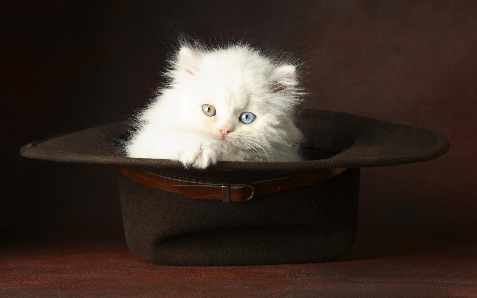 Gatito en un sombrero con los ojos de diferente color | wallpaper hd ...