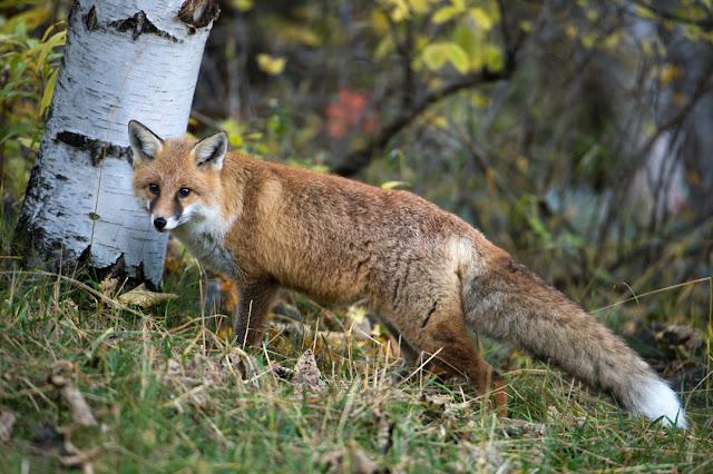 Füchse im Saarland: Landesregierung und Jägerschaft betreiben Desinformation der Öffentlichkeit