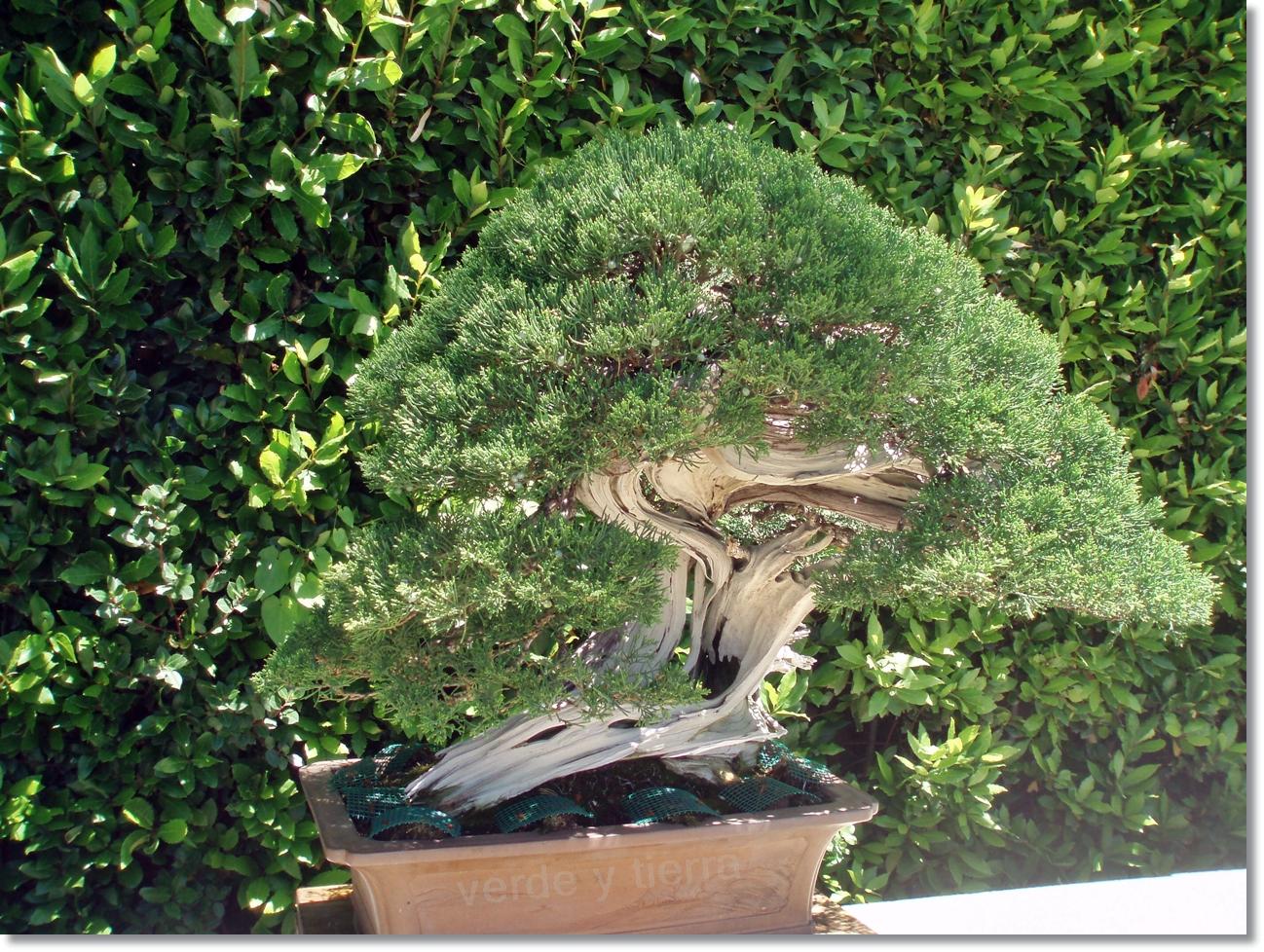 Verde y tierra los bonsais de felipe gonz lez - Tierra para bonsais ...