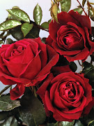 beautiful red roses pictures