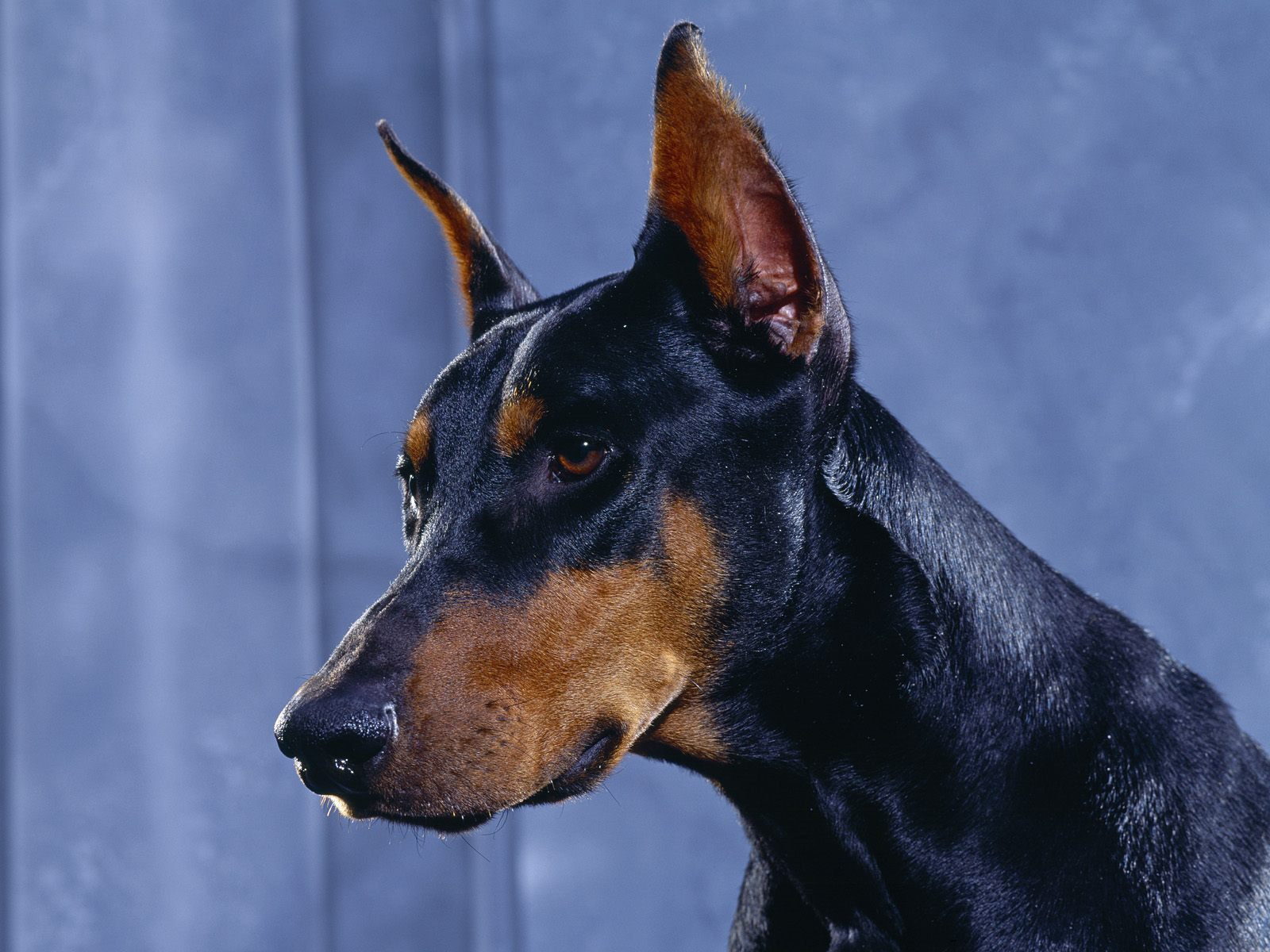 Funny Doberman Pinscher Dog