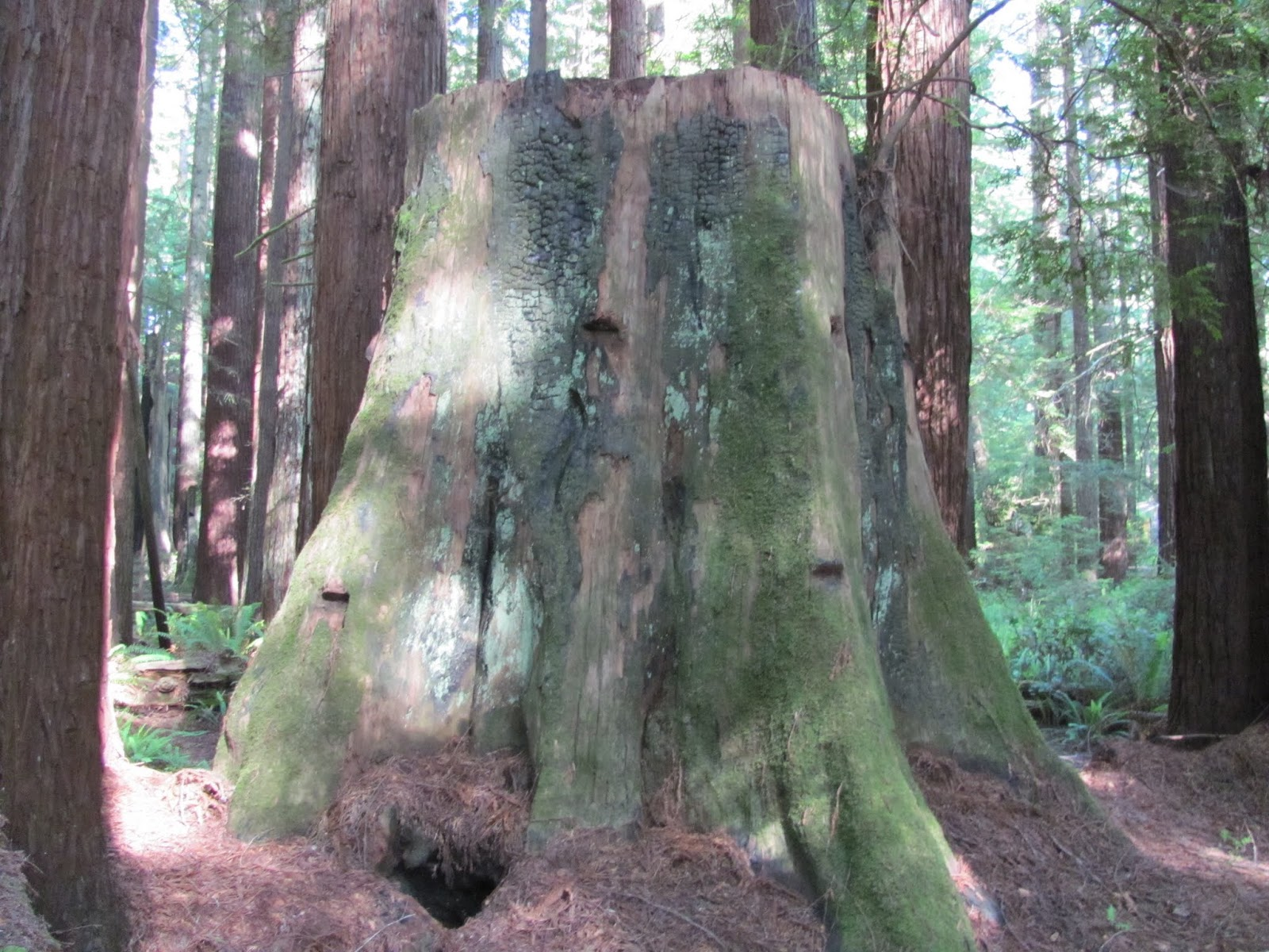 A mossy redwood stump at Florence Keller County Park, California