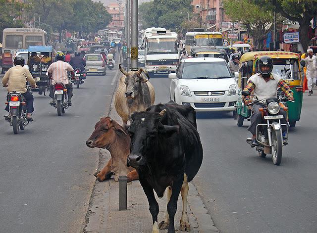 Vaches au milieu d'une grande avenue à Jaipur