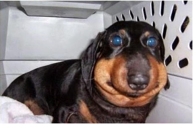 Cachorro com buchecha inchada