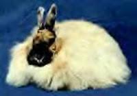 Jenis-jenis kelinci, Anggora Perancis