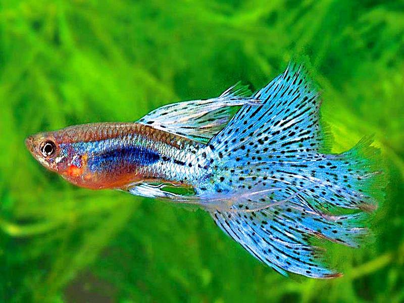 gambar foto Ikan guppy