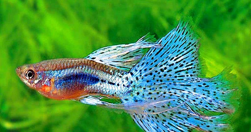 All about fish ikan guppy for All about fish