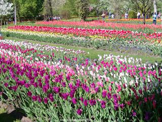 tulipas em várias cores