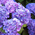 Hydrangea Flower Desktop Wallpapers Free Download