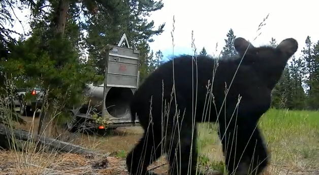 Watch As A Black Bear And Her Two Cubs Are Released Into The Wild (Video)