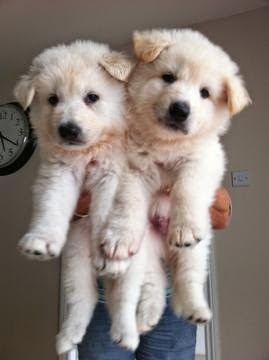 See more White German Shepherd puppies.http://cutepuppyanddog.blogspot.com/