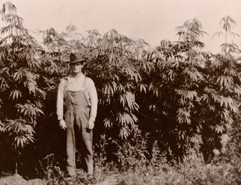 produção de maconha era uma parte integral da economia americana