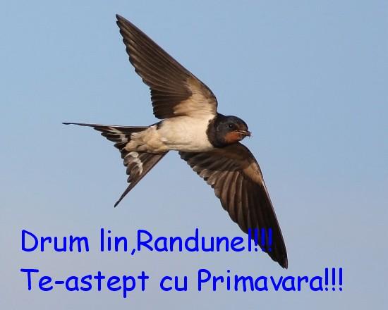 Te-astept cu Primavara,Randunel!!!