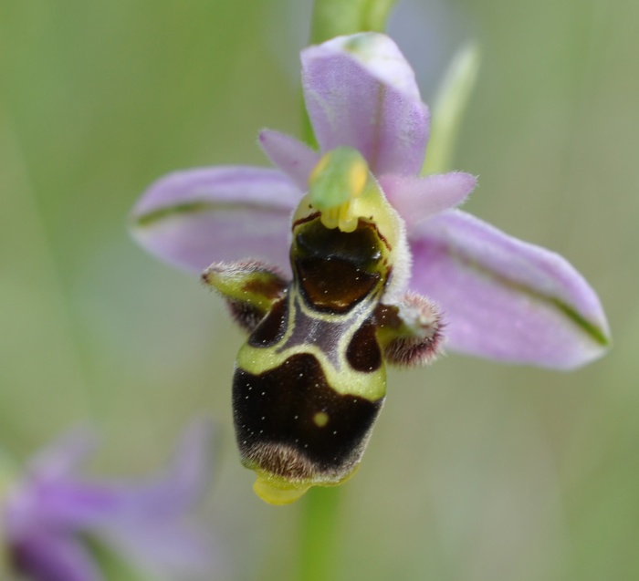 Ophrys becasse