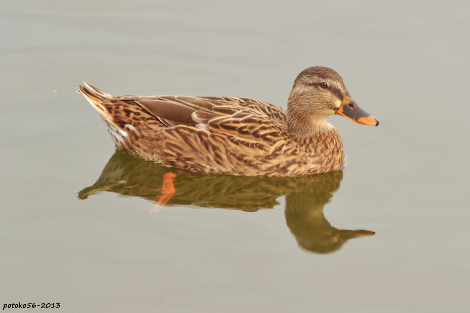 Reflejo del pato en el agua