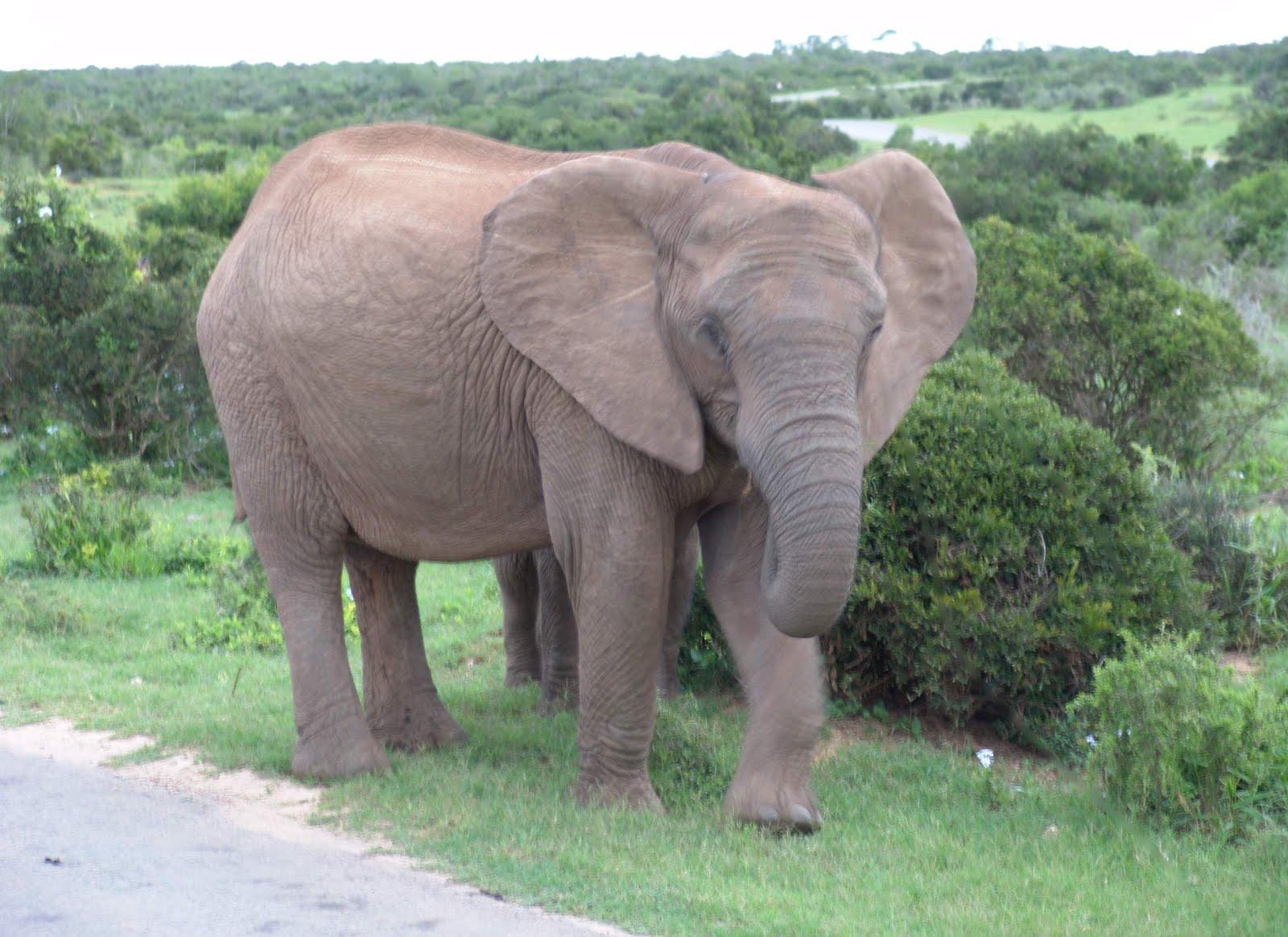 Gambar Gajah Besar