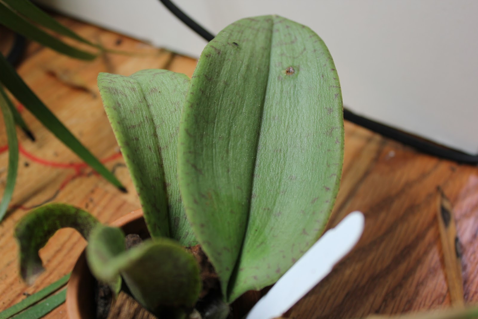 Pic Of The Dye On Bottom Orchid Leaf Can You See It At