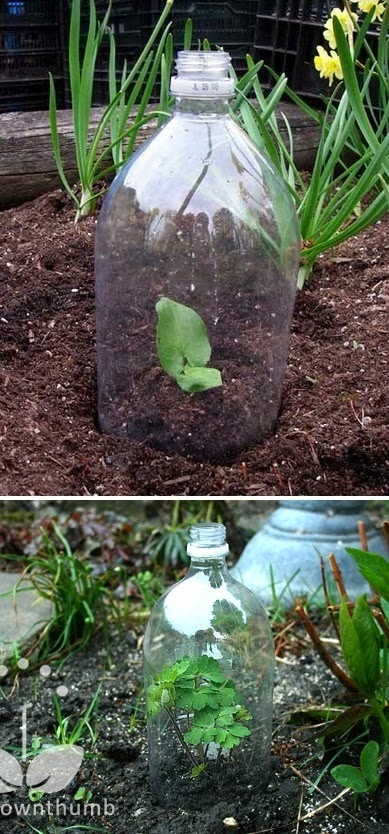 Plastic bottle over seedling