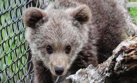 Ομαλή επανένταξη για τη Ζωή, το ορφανό αρκουδάκι