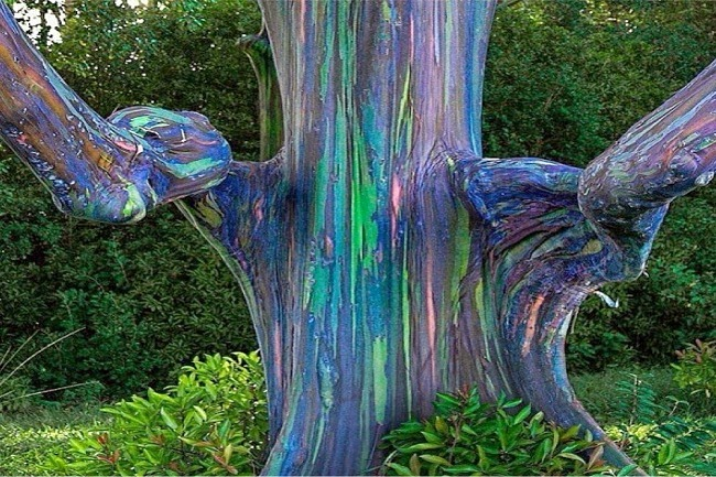 Eucalyptus Deglupta Rainbow Eucalyptus Tree Humor And
