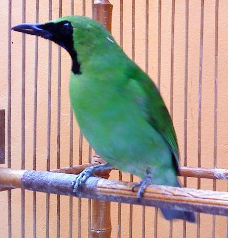 Meskipun nama umum adalah cucak hijau atau cucak ijo , namun burung