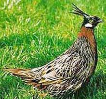 Клинохвостая порода фазанов