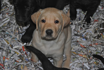 Yellow lab from Jay x Abigail litter