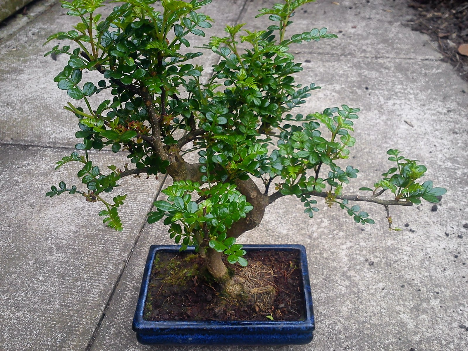 bonsai japanese pepper tree zanthoxylum piperitum