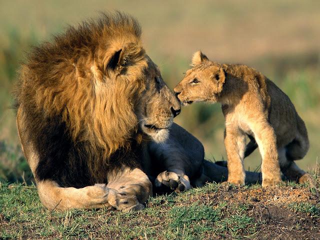Leones, Mamíferos, Cazadores, Animales