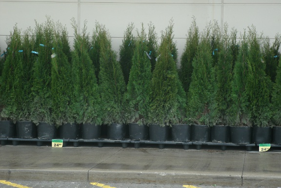 Thuja occidentalis smaragd Emerald cedars in containers by garden muses: a Toronto gardening blog