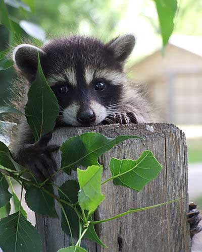 baby-raccoon.jpg
