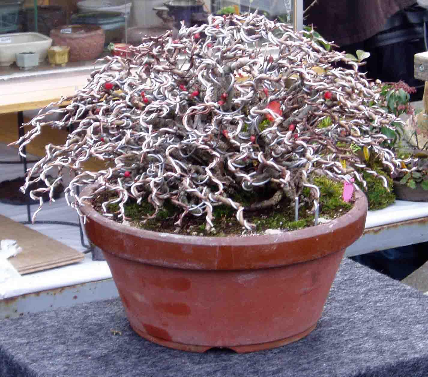 Kigawa39s Bonsai Blog Wire Unwire And Rewire