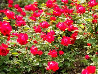 Gambar Taman Bunga Mawar | Download Gambar Gratis