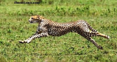 Acinonyx Jubatus cheetah hewan tercepat