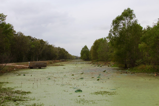 Elm Lake Covered in Duckweed-Brazos Bend State Park-Needville, Texas