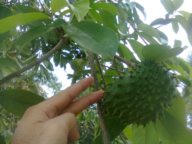 Pohon Sirsak Sudah Mulai Berbuah Lebat