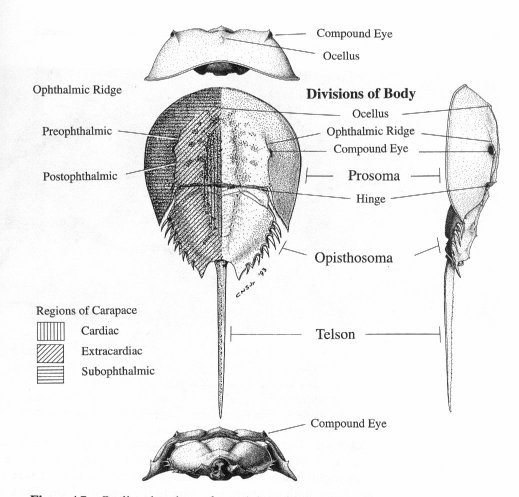 horseshoe crab anatomy