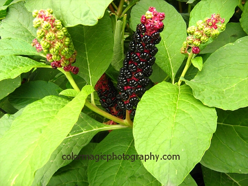 Phytolacca Acinosa fruits - Pokeweed purple berries