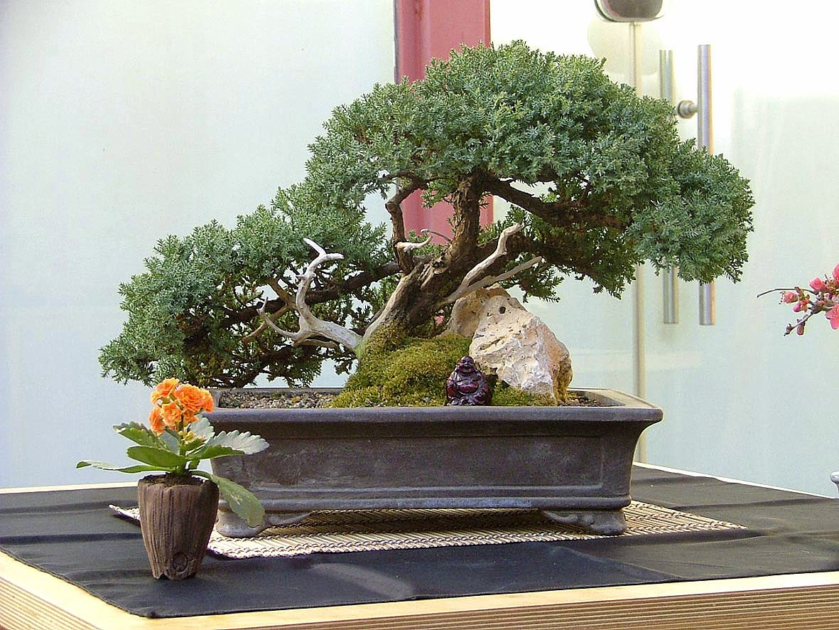 TOT BONSAI Juniperus Procumbens Nana