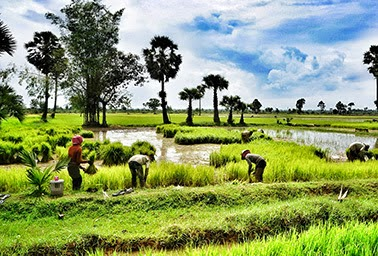 Rice field workers near Siem Reap in northwestern Cambodia. Facing increasing risks from extreme weather, rice and wheat growers are going to need more efficient plants. (Credit: Flickr) Click to enlarge.