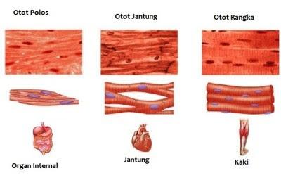 Perbedaan otot polos jantung lurik