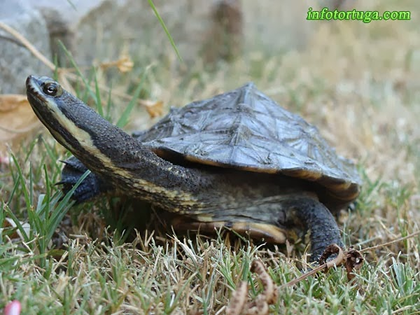 Hydromedusa tectifera - Tortuga cuello de serpiente sudamericana