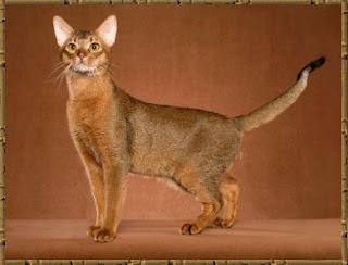 abyssinian cat pets info photo wallpaper